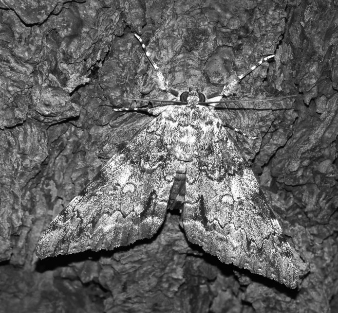 Moth Camouflaged