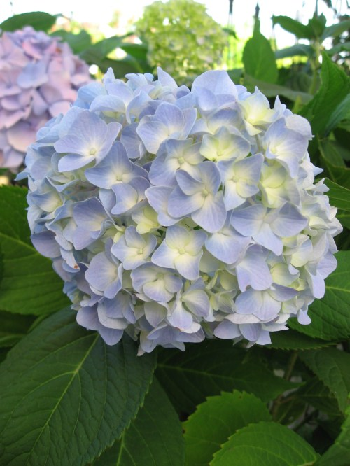 Medium Of Nikko Blue Hydrangea