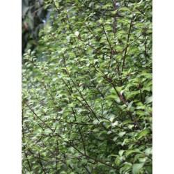 Small Crop Of Pittosporum Silver Sheen