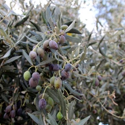 Oliven auf Zypern