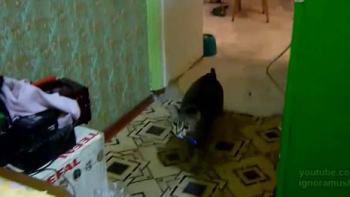 飼い主〜!-電話なってるにゃ。携帯電話を持ってくるとっても賢い猫