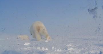 Polar Bear Films Cub s First Steps Outside of Den   YouTube