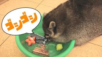 「洗うよ!」なんでもゴシゴシ洗うアライグマがとっても可愛い!
