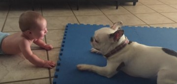 Baby Thinks Spinning French Bulldog is Hilarious   DailyPicdump