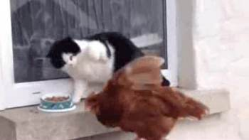 ごはんを狙う鶏に猫パンチ! 激闘の結果は・・・