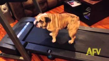肥満気味でダイエット中のブルドッグが隙あらば運動をやめようとする様子が面白い