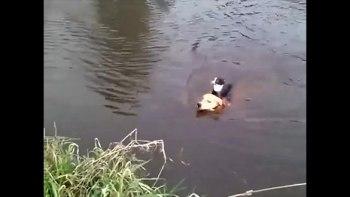 犬の救助隊!-川で溺れているネコを背中に乗せて救助