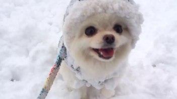 まるで雪の精!-雪の上ではしゃぐポメラニアン。見てるこっちまでハッピーに