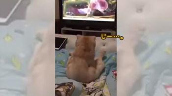お座りしてテレビに夢中過ぎるネコ!-飼い主さんに呼ばれても無視