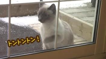 帰ってきたよ!開けて!開けて!-超高速でドアをノックするネコ
