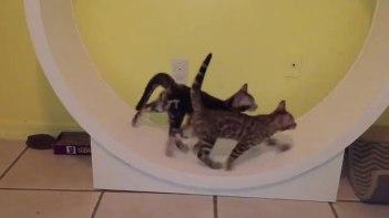 ハムスターホイールでネコがかけっこ!元気いっぱい走ります♪