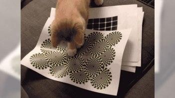 ネコも錯視する?動いて見える絵を子ネコに見せてみた!