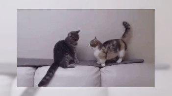 圧倒的に不利!マンチカンと普通のネコの戦いが可愛い