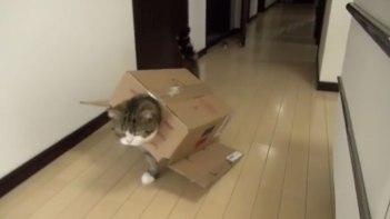 自らダンボールを装着!そしてノッシノッシとお散歩するネコさん