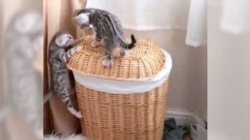 かごの上に頑張って登る子ネコさん!一匹が登れそうにないのを見てもう一匹がとった行動とは?!