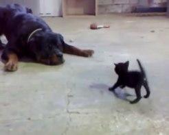 「前世は英雄!!」圧倒的な体格差にもかかわらず果敢に立ち向かう小さな黒ネコさんがかっこいい!!