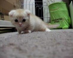 04心がとろけそうになる♪短足マンチカンの子ネコさんがちょこちょこ走り回る姿にうっとり!