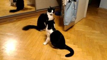 一触即発!向かい合っているネコさん・・・次の瞬間!