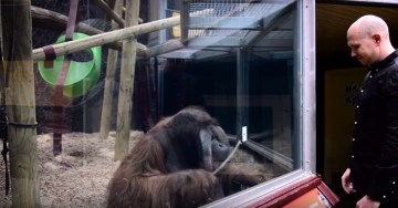 guy-performs-magic-trick-for-orangutan-youtube