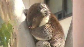 かつてこれほど気の毒なコアラがいただろうか・・・スヤスヤ眠るコアラに悲劇が!