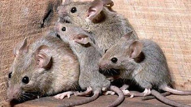 Plaga de ratones en casa teneplagas - Eliminar ratas en casa ...