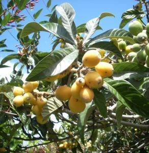 The loquat (Eriobotrya japonica)