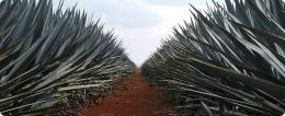 Agave fields.