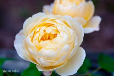 akiko_rose-10