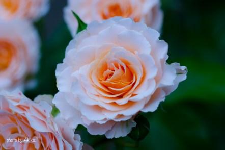 akiko_rose-19