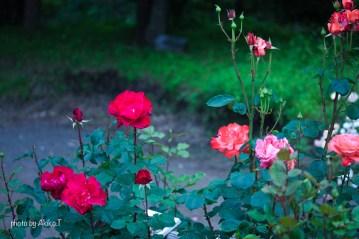 akiko_rose-23