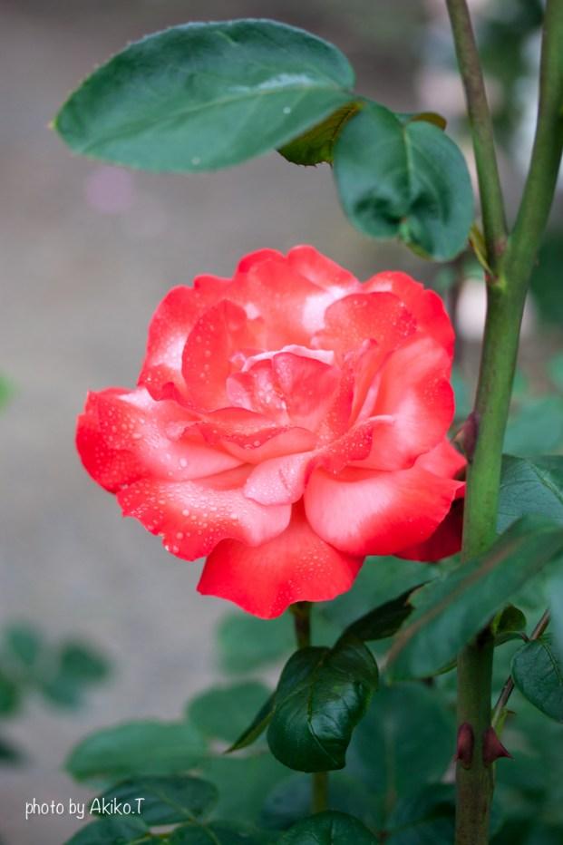 akiko_rose-3