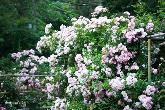 akiko_rose-41