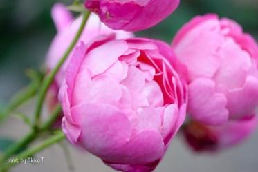 akiko_rose-54