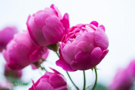 akiko_rose-62