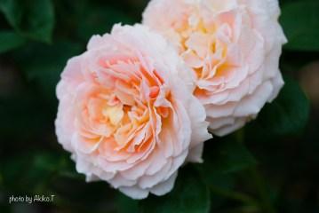 akiko_rose-69