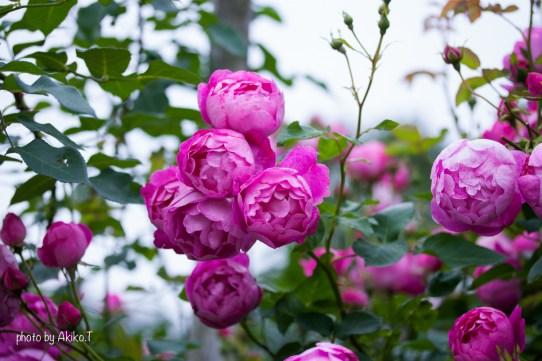 akiko_rose-90