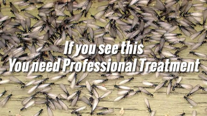 How to Get Rid of Termites Yourself  ChippTips