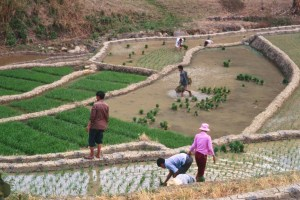 Villagers work together to transplant rice into the paddy in late spring. (Photo: Jenna Tilt)
