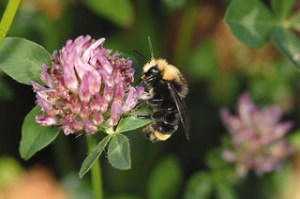 Data from OSU's tiny wireless sensors will be used to design horticultural landscapes that attract bumblebees to crops that depend on pollination to produce fruits and vegetables. (Photo: Lynn Ketchum)
