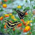 Where do Butterflies Go Swallowtail