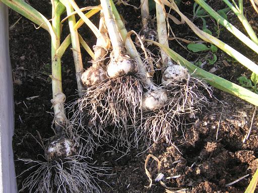 Planting a Second Crop in the Kitchen Garden