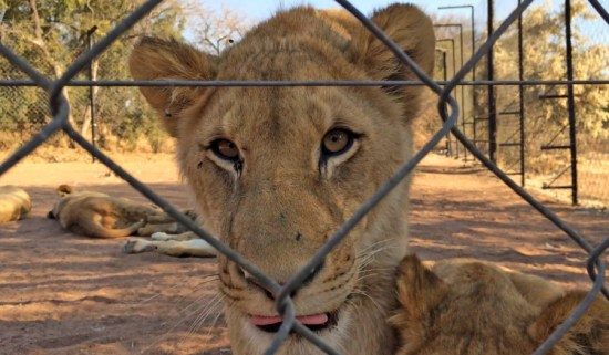 A lion in a barren facility in Southern Africa. World Animal Protection conducted an investigation into lion parks and the use of wildlife as entertainment.