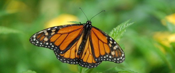 A Monarch Butterly (image source: Pixabay)