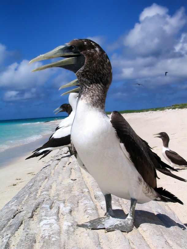 masked-booby-138955_1280