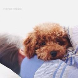 Самый плюшевый и самый милый: пудель Куки