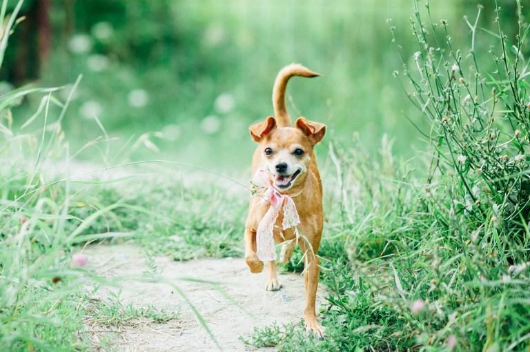 Маленькая собачка с большим сердцем: чихуахуа Саша
