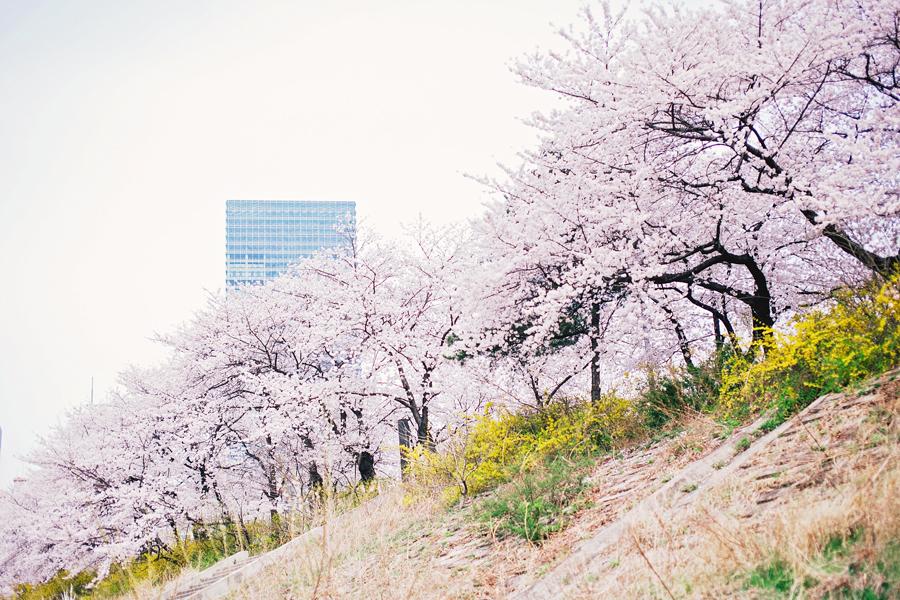 cherry-blossom-150405-27
