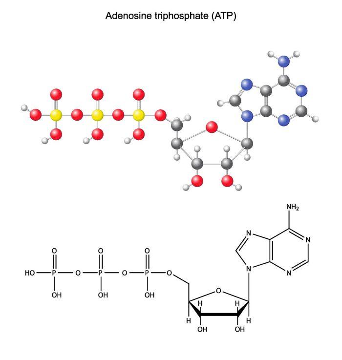 ATP - Adenosintriphosphat