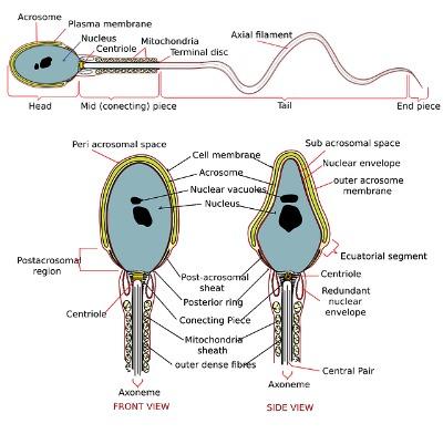 Seman Analysis Low Sperm Count Clomid