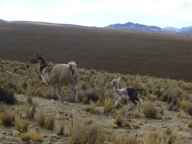 Llamas on the way to Huayna Potosí